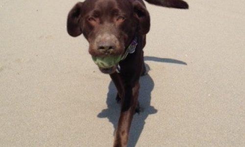 チョコラブ娘・ロビンのホームグラウンドの白里海岸でボール投げをしたよ
